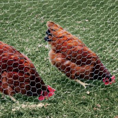 csirkeháló